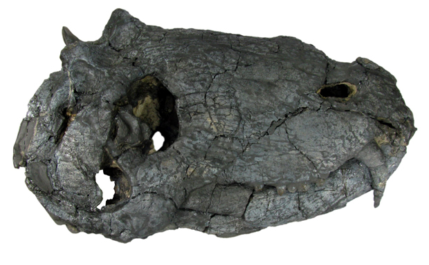 O crânio encontrado na região dos pampas, no RS. (Foto: Cortesia Juan Carlos Cisneros / Divulgação)