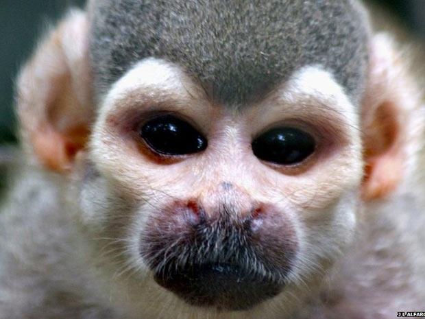 As espécies de macacos do continente americano são muito variadas, com cores e rostos complexos. Pesquisadores da Universidade da Califórina Los Angeles (UCLA) estão estudando as diferenças entre eles, como os entorno dos olhos cor-de-rosa deste macaco-de-cheiro. (Foto: J L Alfaro/UCLA)