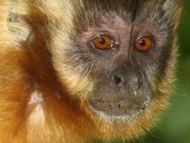Em um artigo publicado na revista Royal Society Journal, Proceedings B, a equipe descreve como animais de zonas tropicais, como este macaco-prego, adquiriram suas características faciais - como a cor - para facilitar o reconhecimento à distância entre eles. (Foto: J L Alfaro/UCLA)