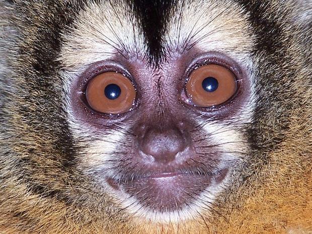 Animais solitários, ou aqueles que vivem em pequenos grupos, como este macaco-da-noite, têm cores e rostos mais complexos, segundo a cientista Sharlene Santana, que liderou a pesquisa. Isso pode ter evoluído desta forma para que cada macaco tivesse uma identidade diferente, que facilitasse a distinção entre eles. (Foto: C Wolovich/UCLA)