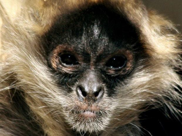"""A cor da face e o tamanho dos pelos são dois indícios de como os animais se adaptaram aos seus ambientes. Santana explica: """"A área ao redor dos olhos evoluiu para uma cor mais escura em espécies que vivem em lugares com alta radiação ultravioleta."""" No caso deste macaco-aranha, o rosto escuro ajuda o animal a lidar com o sol forte. (Foto: J L Alfaro/UCLA)"""