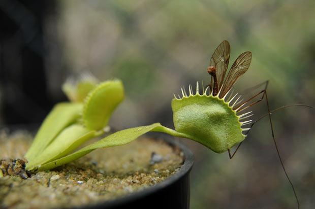 planta carnívora 2 (Foto: Guillermo Legaria/AFP)
