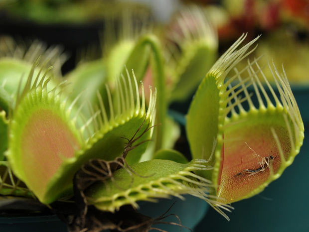 planta carnívora 3 (Foto: Guillermo Legaria/AFP)