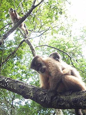 Macacos-prego são visto em grupo durante trilha (Foto: Iara Vilela / G1)