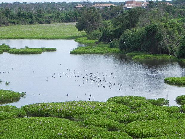 Corixos se formam nos rios pantaneiros durante a temporada de cheia  (Foto: Iara Vilela / G1)