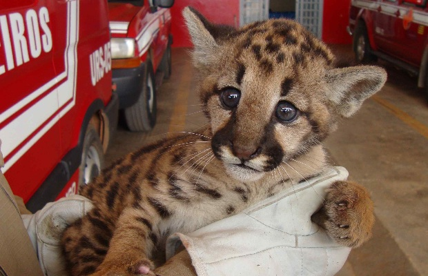 A cougar cub rescued on Tuesday 17 January 2012 in Planaltina, Goias.