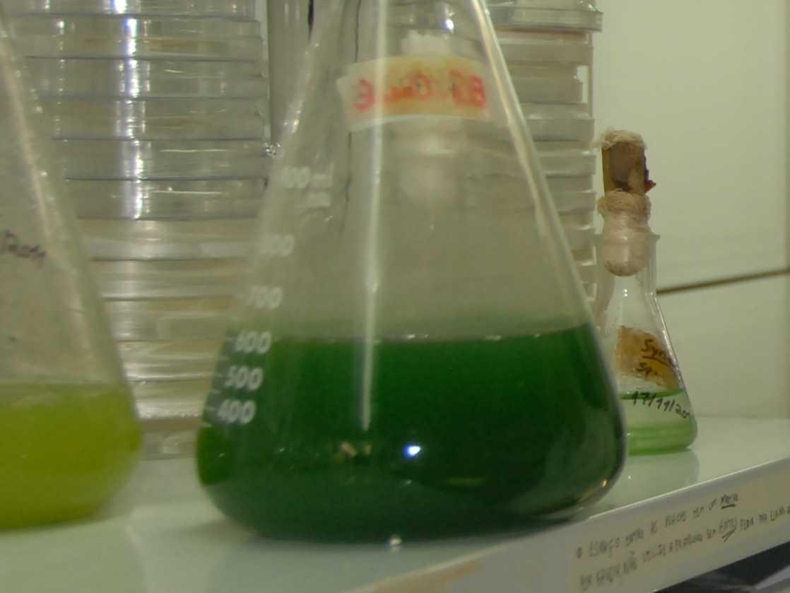 Detalhe de uma cultura de cianobactérias. Elas armazenam lipídios, que são posteriormente convertidos em biodiesel. (Foto: Divulgação)