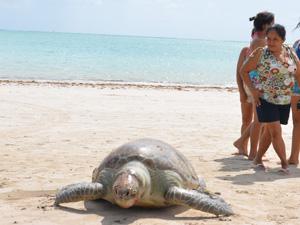 Tartaruga é achada morta em Cabedelo, Paraíba (Foto: Walter Paparazzo/G1)