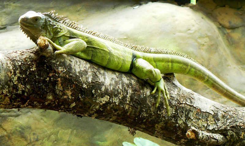 Iguana (Foto: Caroline Zanchi / Divulgação)