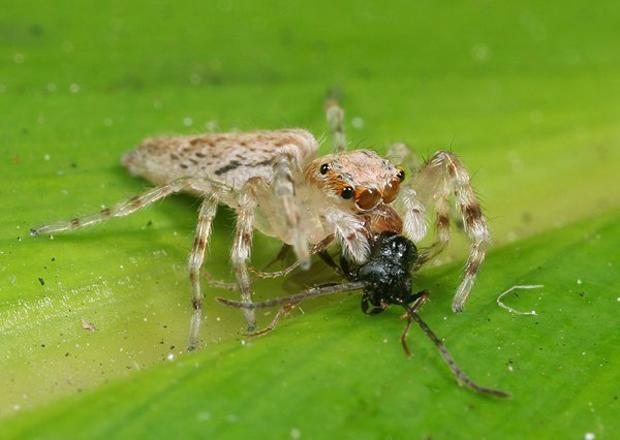 Aranha-saltadora captura presa. (Foto: Ajay Narendra)