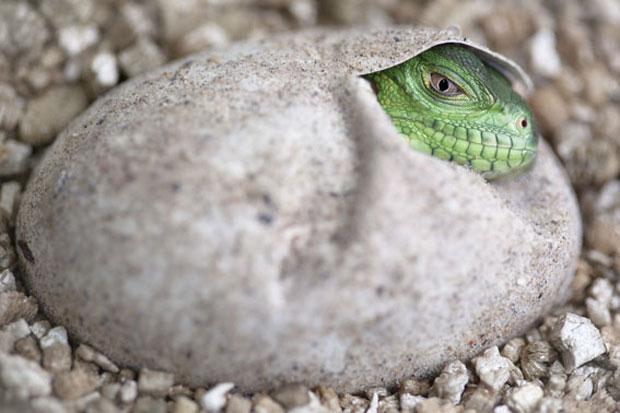 Iguana-das-Antilhas-Menores não nascia em cativeiro havia 11 anos (Foto: Durrell Wildlife Conservation Trust)