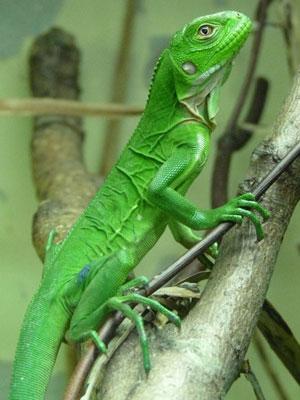 Quando filhote, iguana-das-Antilhas-Menores é verde-limão (Foto: Durrell Wildlife Conservation Trust)