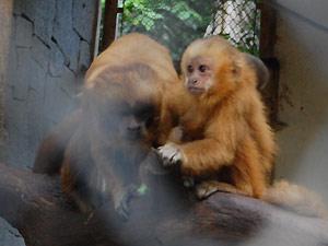 Macaco-Prego Galego nasce em João Pessoa (Foto: Rammom Monte / G1 PB)