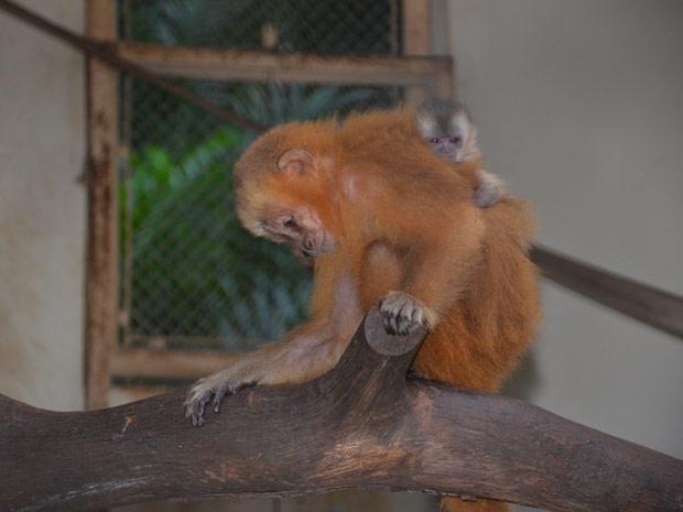 Macaco-Prego Galego nasce em João Pessoa (Foto: Walter Paparazzo/G1 PB)