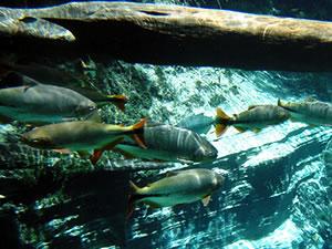 Peixes em Nobres (Foto: Kelly Martins/G1)