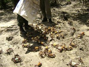 Ibama resgata caranguejos na Paraíba (Foto: Divulgação/Ibama)