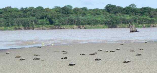 Tartarugas na Amazônia (Foto: Divulgação/Augusto Rodrigues)