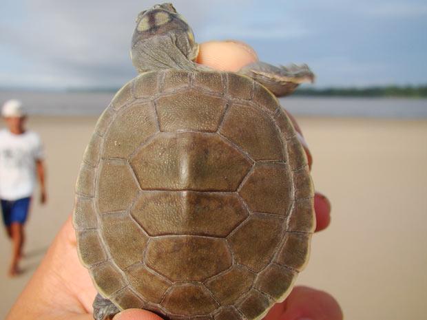 Tartarugas na Amazônia (Foto: Diogo Grabin/Divulgação)