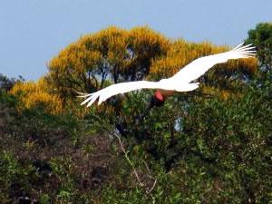 Tuiuiu em São Félix do Araguaia (Foto: Stanley Tang/Arquivo pessoal)