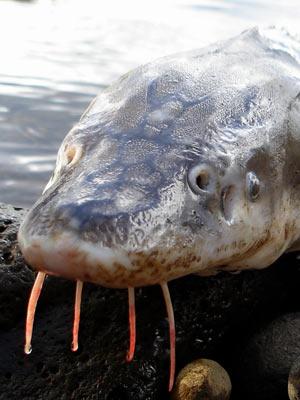 População de esturjão do Atlântico caiu drasticamente devido pesca comercial (Foto: Flickr / anglerp1 /CC BY 2.0)