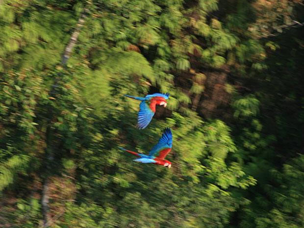 O parque contém sete espécies de araras, entre elas a vermelha e a verde  (Foto: Carlos Sevillano)
