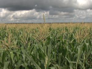 Produtores plantam milho para recuperar perda na safra de soja (Foto: Reprodução/TV Morena)