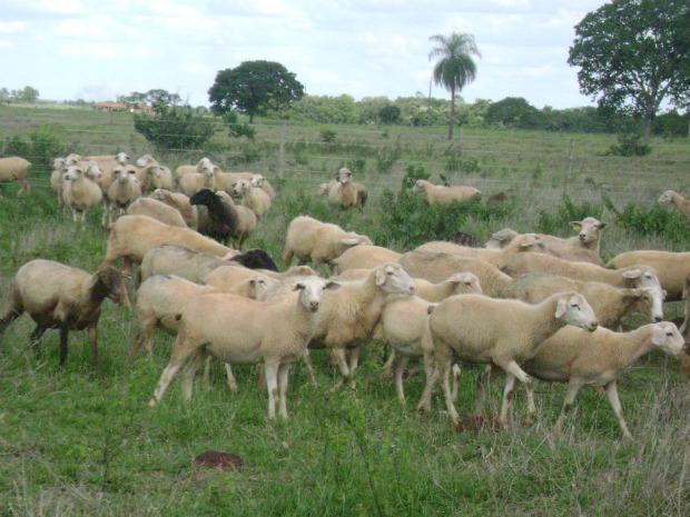 Depois dos ataques a fazenda possui 250 ovinos (Foto: Aliny Mary Dias / G1 MS)
