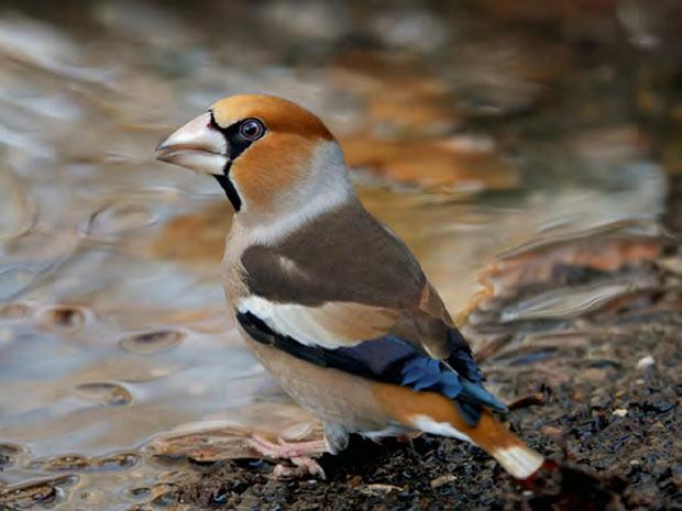 Acima, um bico-grossudo de John Robinson. (Foto: BirdGuides/John Robinson/BBC)