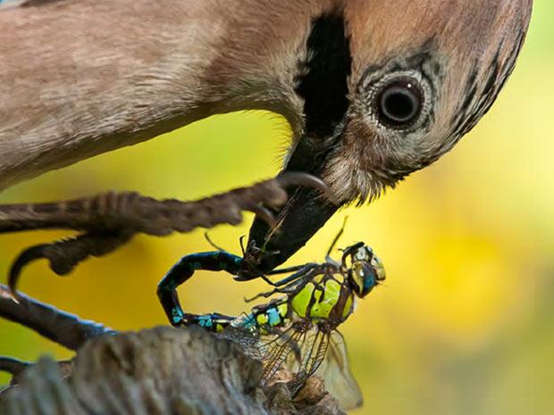 O Gaio (acima) é uma ave de porte grande que habita a Europa, norte da África e Ásia. A imagem foi feita por Siegbert Werner.  (Foto: BirdGuides/Siegbert Werner/BBC)