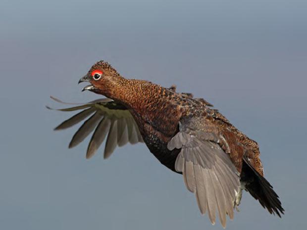 A Lagaopus é um gênero de ave da galiformes, típico de regiões frias do hemisfério norte. A foto acima foi tirada por Steve Round. (Foto: BirdGuides/Steve Round/BBC)