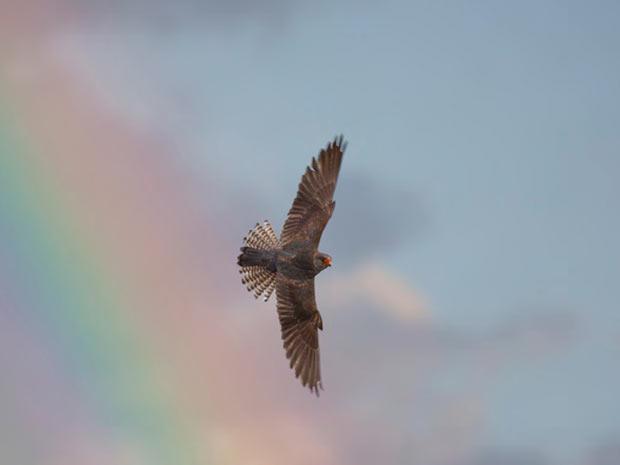 O concurso de Foto do Ano do site britânico BirdGuides escolheu a imagem acima, de um falcão-de-pés-vermelhos, feita por Kevin Du Rose, como a melhor de 2011 (Foto: BirdGuides/Kevin Du Rose/BBC)