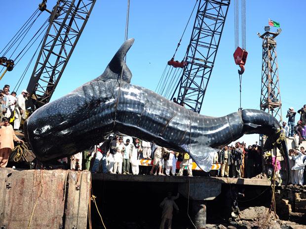 O tubarão-baleia pescado no Paquistão tem 12 metros de comprimento e pesa aproximadamente sete toneladas (Foto: Asif Hassan/AFP)