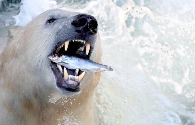 O fotógrafo Julian Stratenschulte flagrou na quarta-feira (8) o exato momento em que um urso polar devorava um peixe no jardim zoológico de Hanover, na Alemanha. (Foto: Julian Stratenschulte/AFP)