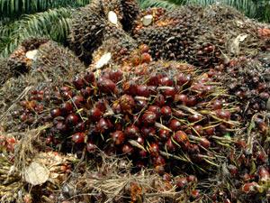 Cultura de palma está em expansão no Brasil; produção de biodiesel estimula crescimento (Foto: Agência Petrobras)