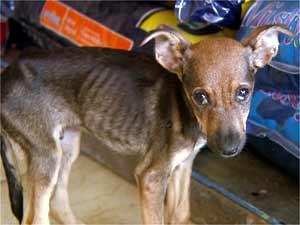 Animal com sinais de maus tratos encontrado em abatedouro clandestino em Campinas (Foto: Reprodução EPTV)