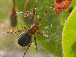 Aranhas do gênero 'anelosimus' tecem as grandes teias no interior do AM (Foto: Reprodução/TV Amazonas)