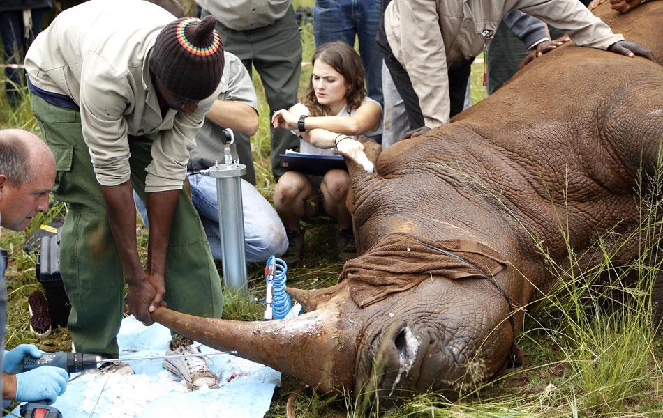 Um rinoceronte sofreu convulsões e morreu na quinta-feira (9) depois que uma reserva na África do Sul convocou a mídia para demonstrar a implantação de um microchip no chifre do animal, que ajudaria no combate à caça. O acidente ocorreu em Joanesburgo.