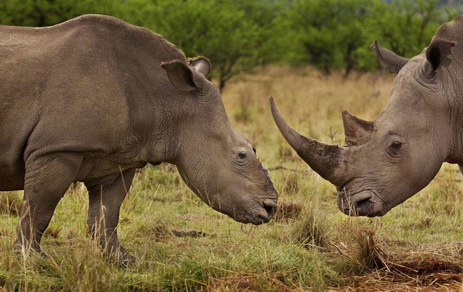 O sul-africano Brent Stirton, fotógrafo da Getty Images para a revista 'National Geographic', venceu na categoria Natureza (Histórias) com a série 'Guerra de Rinocerontes'. A foto mostra uma rinoceronte que teve seu chifre retirado com uma serra elétrica. (Foto: Reuters/Brent Stirton/Getty Images)
