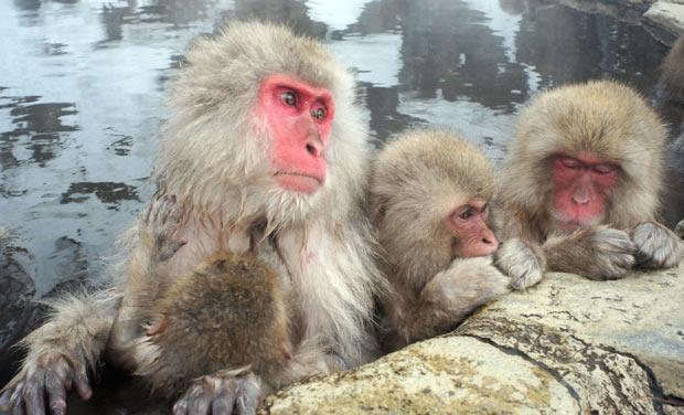 macaco-japonês (Foto: Nick Ut/AP)