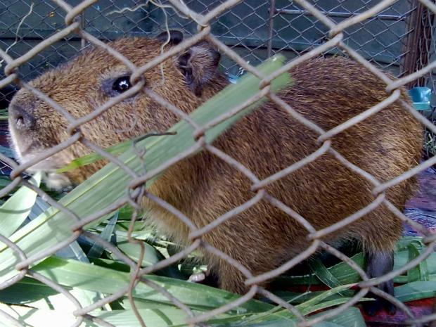Animal foi encontrado há 2 meses por funcionário de uma fazenda (Foto: Divulgação/PMA)