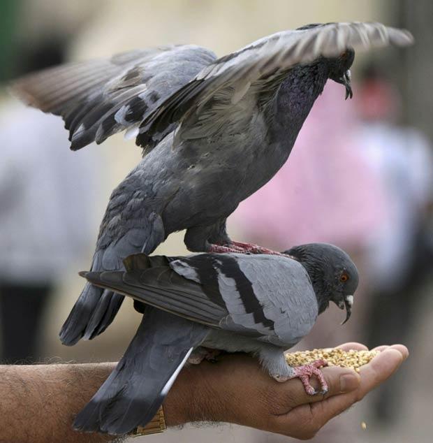Pombo pisa outro pombo enquanto os dois ganhavam comida de um homem dentro de mesquita na cidade de Hyderabad, no sul da Índia, neste sábado (11) (Foto: Krishnendu Halder/Reuters)