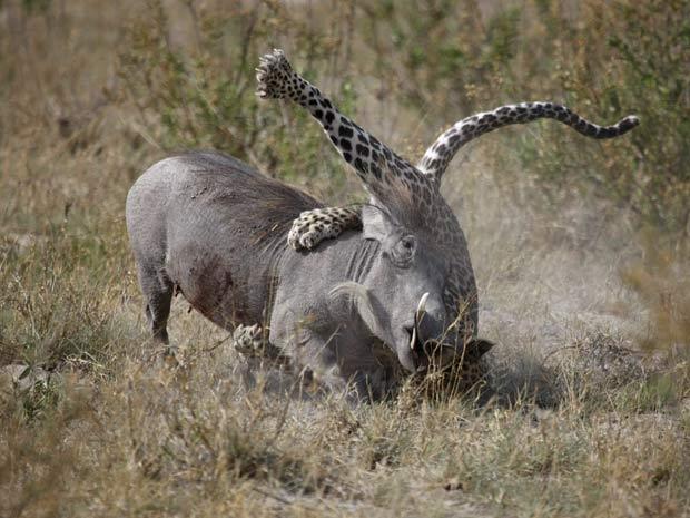 Em 2010, o fotógrafo britânico Mike Bailey flagrou uma luta entre um leopardo e uma fêmea de javali em uma área do rio Kwando, em Botsuana. Para surpresa de Bailey, a javali se defendeu e venceu a batalha que durou cerca de 10 minutos.  (Foto: Mike Bailey/Barcroft Media/Getty Images)