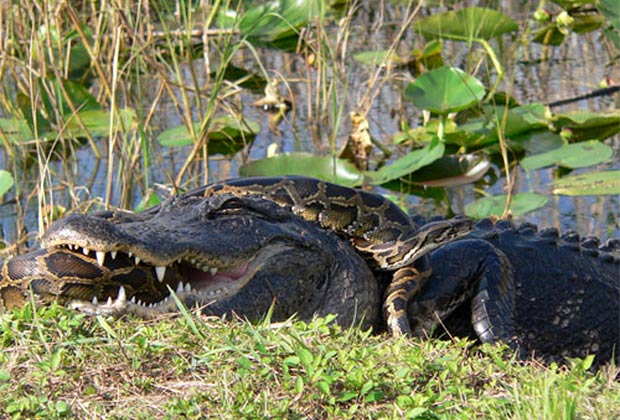 Píton e aligátor foram flagrados em combate mortal em 2009 no Parque Nacional Everglades, na Flórida (EUA). (Foto: Lori Oberhofer/National Park Service/AP)