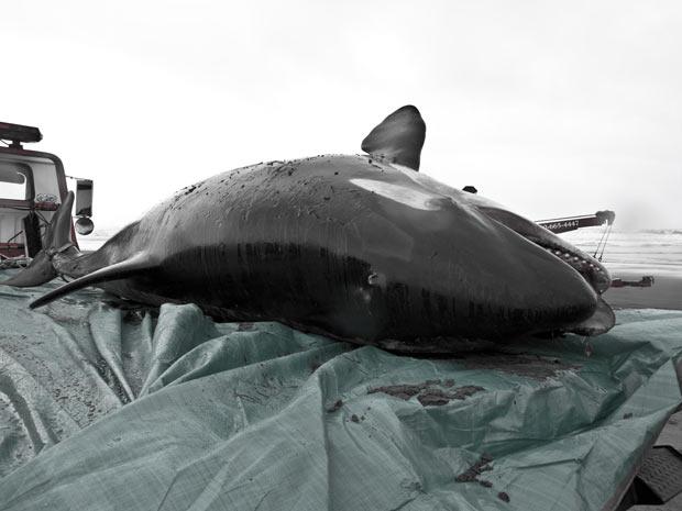 Exemplar de orca, que tinha entre três e seis anos, encontrado morto nos Estados Unidos no último final de semana. (Foto: Seaside Aquarium/Tiffany Boothe/AP)