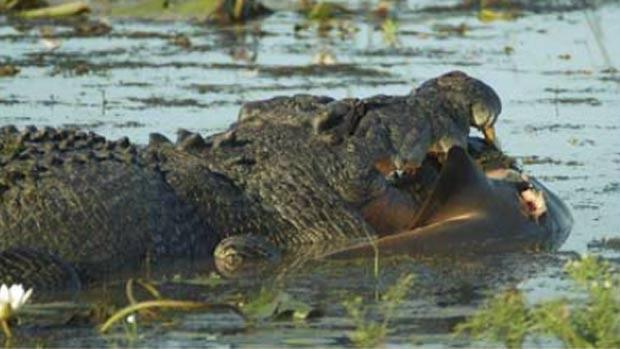 Em 2010, um grupo de turistas do Parque Nacional de Kakadu, no Território do Norte, na Austrália, acompanhou o ataque de um crocodilo de água salgada a um tubarão-touro. O réptil de cinco metros mostrou quem era o rei do pântano ao abocanhar o tubarão que, segundo o guia turístico, deveria ter três metros de comprimento. (Foto: Reprodução)