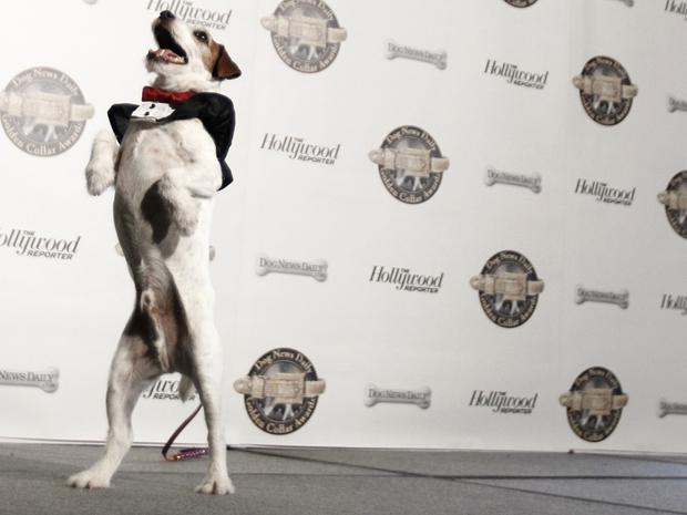 Uggie, de 'O artista', na cerimônia de Golden Collar Awards, em Los Angeles, na segunda-feira (13) (Foto: AP/Matt Sayles)