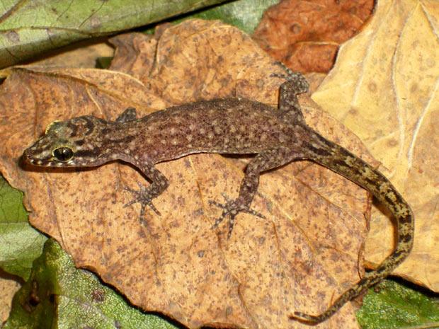 Animal batizado de Cyrtodactylus kimberleyensis foi encontrado em uma região remota da Austrália (Foto: Divulgação)