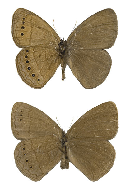 Nova espécie de borboleta foi batizada de Prenda clarissa (Foto: Divulgação/André Freitas)