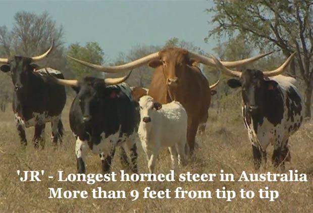 'JR' virou atração em fazenda em Queensland, na Austrália. (Foto: Reprodução)