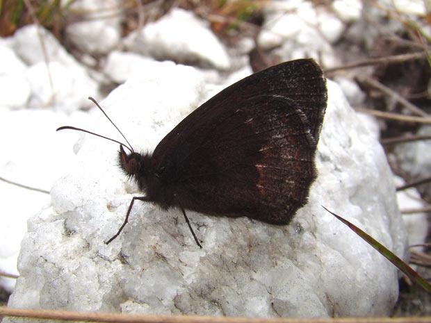 Espécie Yphthimoides cipoensis, encontrada na Serra do Cipó (MG) foi recentemente descoberta e já considerada ameaçada de extinção. (Foto: Divulgação/André Freitas)